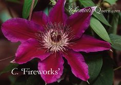 Clematis 'Fireworks'