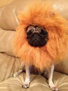 I would have to say that Marty is one of the only pugs that doesn't want to be a lion when he grows up!