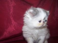 Born on Oct 6 2013  Persian show quality Kitten from Victorias Cats