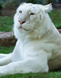 I ❤ big cats . beautiful white tiger ~By Holly Heckman Majestic Animals, Rare Animals, Animals And Pets, Wild Animals, Beautiful Cats, Animals Beautiful, Big Cats, Cats And Kittens, Maine Coon