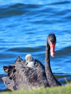 Australian Black Swans