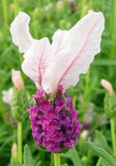 'with love' Frost-hardy lavender | Downderry Nursery