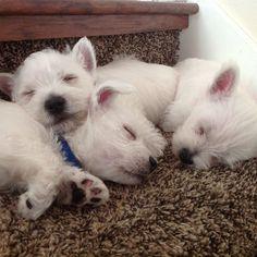 Westie puppy cuddle puddle. #utahwesties #fergus #fergusthewestie #westiegram #westiesofinstagram #whwt #westie #westiesandscotties #westhighlandterrier #westiesarethebesties #dogoftheday #dogsofinstagram #ilovemydog #scotland #westhighlandwhiteterrier #westielove #westielife #westies #dog #dogs #westiefamily #puppiesofinstagram #puppy #puppystagrams #westiepuppy #westiepuppies #puppystagram #cuddlepuddle #cuddle