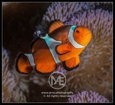 Clownfish  © Arno Enzerink / www.stockphotography.nu. All rights reserved.