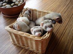 a basket of baby ferrets!