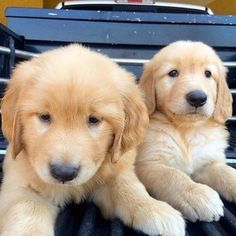 Dog Grooming - A Few Steps Towards Finding Success Along With Your Dog Cut Animals, Baby Animals, Funny Animals, Chien Golden Retriever, Golden Retrievers, Cute Puppies, Dogs And Puppies, Doggies, Really Cute Dogs