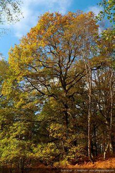 Un chêne en automne - Forêt de Rambouillet (Vallée de Chevreuse, Yvelines) .
