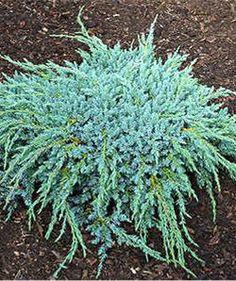 Juniperus media goldkiss 472 259 juniperus kadagys pinterest - Juniperus squamata blue carpet ...