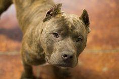 Loyal and Nurturing-American/English Staffordshire Terrier      <3 Looks like Chaos