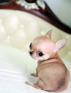 Long-haired Chihuahua, Dislike Chihuahua`s but this is one cutie!