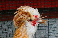 Chicken equivalent of a permanent bad hair day