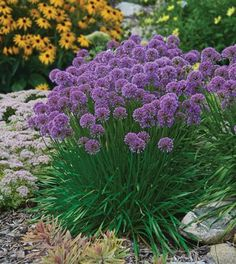 Allium 'Millenium' is a versatile perennial for a sunny garden because of its compact upright habit and resistance to all types of pests. It is also drought tolerant and loved by butterflies and bees. Though the fragrant blooms are very attractive in mids Long Blooming Perennials, Flowers Perennials, Planting Flowers, Part Sun Perennials, Purple Perennials, Flowers Garden, Garden Shrubs, Garden Plants, Shade Garden