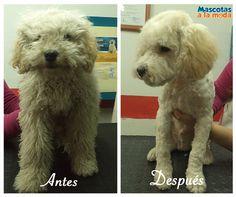 Nuestro cliente estrella 'Copito' <3 Su dueño quedo feliz! #peluqueríacanina #estéticacanina