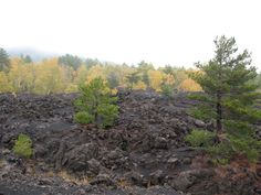 Pine and birch lava on Mount Etna