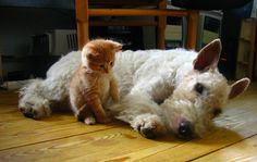Wire fox terrier with kitten friend Fox Terriers, Chien Fox Terrier, Wire Fox Terrier, Funny Cats, Funny Animals, Cute Animals, Cute Puppies, Dogs And Puppies, Doggies