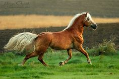 Haflinger - a mare named Khaleesi will one day graze in my fields.