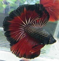 Siamese Fighting Fish - Copper/Red Rose Tail Betta Splendens by kimberly Pretty Fish, Cool Fish, Beautiful Fish, Animals Beautiful, Betta Aquarium, Betta Fish Tank, Fish Tanks, Colorful Fish, Tropical Fish