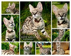 F1 Savannah Cats are the first generation removed from the African Serval Cat
