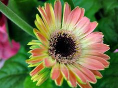 Gerbera Daisy Of Different Colors