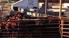 Joan's story on cattle handling