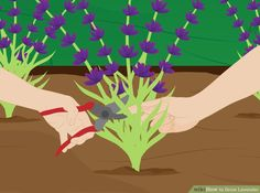 3 Ways to Grow Lavender - wikiHow