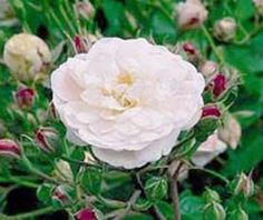Blush Noisette - repeat, fragrant, white, pillar rose. The antuque rose emporium 18.95