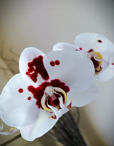 "My ""Dexter"" Orchid. Spotted Phalaenopsis, Love."