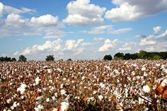cotton fields of Portageville, MO