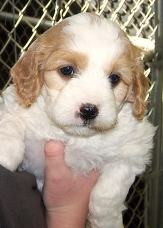 Picking out our puppy Sophie, 6 wks old. Cavachon Puppy