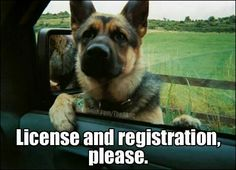 GERMAN SHEPHERD POLICE DOG AND YES HE IS SERIOUS