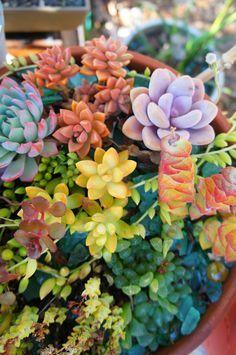 suculenta de várias cores!