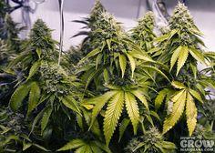 Healthy Hydroponic Indoor Grown Marijuana