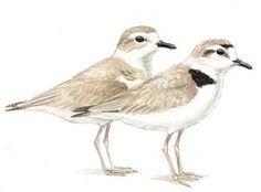 Snowy Plover :: Bird Identification Guide :: Bird Watcher's Digest