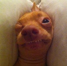 Meet Tuna the Chiweenie, Instagram's Cutest Dog With an Overbite