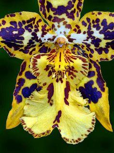 Leopar orkide