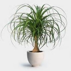 ponytail palm - - Yahoo Image Search Results
