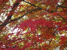#my photo #Nature is beautiful #colored leaves #scarlet-tinged leaves #red #maple