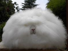 I had some of THESE! Sweet English Angora bunnies. That fur was A LOT OF WORK, but the creatures who sported it were worth the effort.