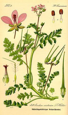 Illustration Erodium cicutarium0 - Erodium cicutarium - Wikipedia, la enciclopedia libre