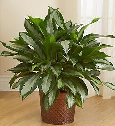 Chinese Evergreen is a   very adaptable plant, it tolerates low light and dry air better than most other house plants. One thing it doesn't like is cold air. Do not prune the crown; it will kill it. water regularly