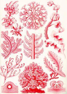 Imagini pentru Ernst Haeckel