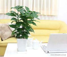 目にやさしそうな色あいの濃い緑色の葉のコーヒーの木。大きく生長して白い花が咲きますと、コーヒーの実がなります。コーヒー豆は、このコーヒーの木から作られます。観葉植物としてインテリアにもグリーンがよく映えます。★花言葉は、「一緒に休みましょう」 #観葉植物 #インテリア #コーヒー http://www.bloom-s.co.jp/fs/bloomingscape/g5-coffee
