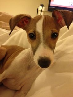 Italian Greyhound. this little guy melts my heart....