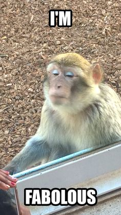 Fab diva monkey