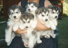 Husky puppies soooo darn cute!