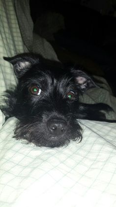 Winston Jack Russell Terrier & Scottish Terrier Mix.