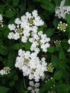 Lantana sp. (Lantana, White)
