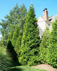 Fast Growing, Dense & Cold Hardy - Perfect for Privacy The Arborvitae Spring Grove, Thuja plicata 'Grovepli', a Proven Winners selection, was selected for its superior winter color and hardiness. It maintains a rich green color even in Midwest winters. Arborvitae Tree, Online Plant Nursery, Spring Grove, Screen Plants, Buy Plants Online, Sloped Yard, Forever Green