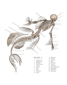 Siren Oceanus (Plate 3.)