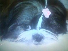 Gordon's Grooming in Plymouth is awesome! Zara the Shih Tzu's new topknot.